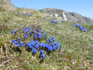 Spring gentian above Port de Saleix