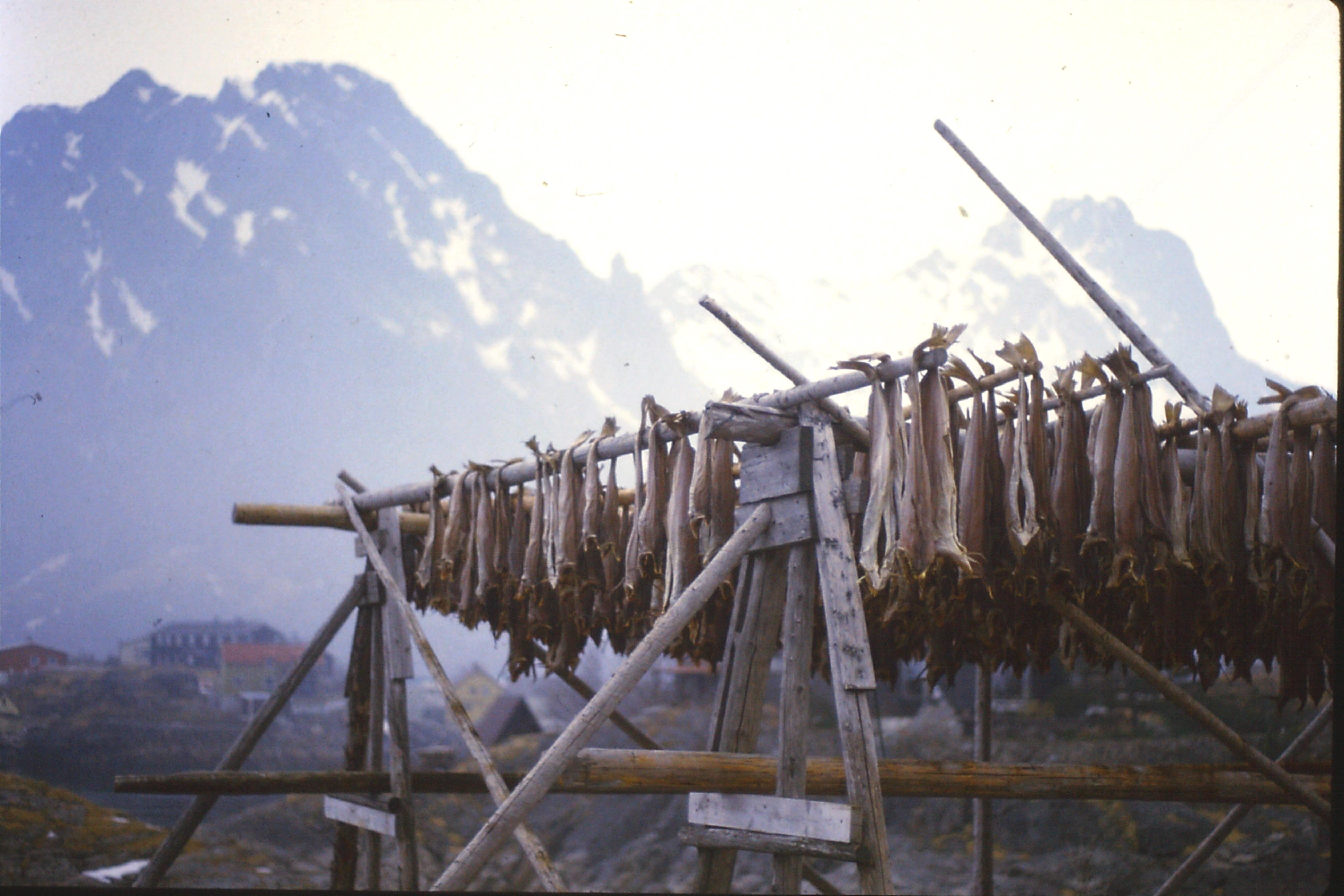 Cod drying, Lofoten
